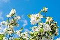 Blossoms (26904234814).jpg
