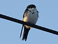 Blue-and-white Swallow RWD2.jpg
