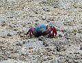 Blue-backed Fiddler Crab. Uca tetragonon - Flickr - gailhampshire.jpg