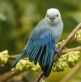 Blue-gray Tanager.png