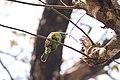 Blue-throated Barbet at Chitwan 02.jpg