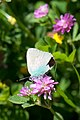 Blue-tinged butterfly (8539049186).jpg