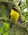 Blue-winged Mountain-tanager (Anisognathus somptuosus) (20089200273).jpg