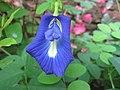 Blue Flower - panoramio.jpg