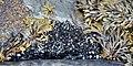 Blue Mussels (Mytilus edulis) - Mobile, Newfoundland 2019-08-12 (01).jpg