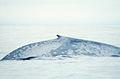 Blue Whale 004 noaa dorsal.jpg