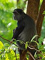 Blue monkey, Ngorongoro (2015).jpg