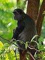 Blue monkey, Ngorongoro (2015).jpg