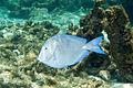Blue tang Acanthurus coeruleus (2447050151).jpg