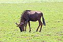 Blue wildebeest in Mlilwane Wildlife Sanctuary.jpg
