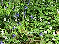 Bluebells - April 2012 - panoramio.jpg