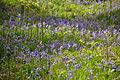 Bluebells by Venford Reservoir (4291).jpg