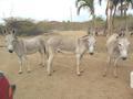 Bonaire's Nubian Wild Ass IUCN Critically-Endangered species.pdf
