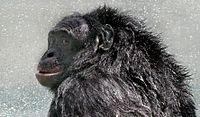 Bonobo Kanzi postshower 2005-07-23 GATI 330crop (2014 11 14 01 04 18 UTC).jpg
