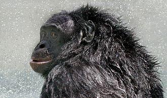 Kanzi - Image: Bonobo Kanzi postshower 2005 07 23 GATI 330crop (2014 11 14 01 04 18 UTC)