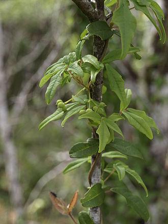 Lardizabalaceae - Image: Boquila trifoliolata 3