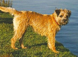 Border Terrier - Female red Border Terrier.