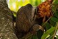 Bradypus tridactylus -Parque del Este, Caracas, Venezuela-8 (3).jpg