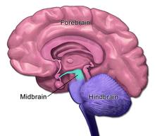 Midbrain - Wikipedia