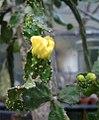 Brasiliopuntia brasiliensis 2.jpg
