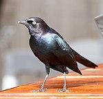 Brewer's Blackbird (15390899768).jpg