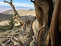 Bristlecone-pine-forest-janine-sprout.jpg