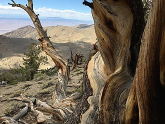 Ancient Bristlecone Pine Forest - Image: Bristlecone pine forest janine sprout
