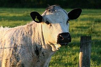 British White cattle - A British White in England