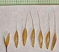 Bromus racemosus flower (13).jpg