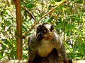 Brown Lemur Lemurs Park Antananarivo Madagascar - panoramio.jpg
