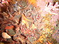 Brown false coral and Noble coral with brittle stars PB198248.JPG