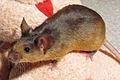 Brown pet mouse.jpg