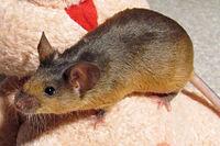 Декоративная мышь коричневого цвета