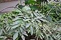Brownea grandiceps 3zz.jpg