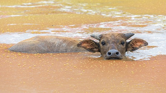 Bubalus bubalis (water buffalo) bathing in a rust-colored pond and looking at viewer, head above water, Don Det, Laos