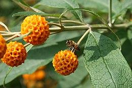 Buddleja-globosa-flowers
