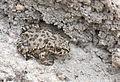 Bufotes variabilis - Variable Toad 04.jpg