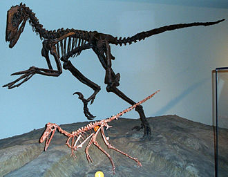Buitreraptor - Buitreraptor (front) and Deinonychus (back) skeleton casts at the Field Museum of Natural History