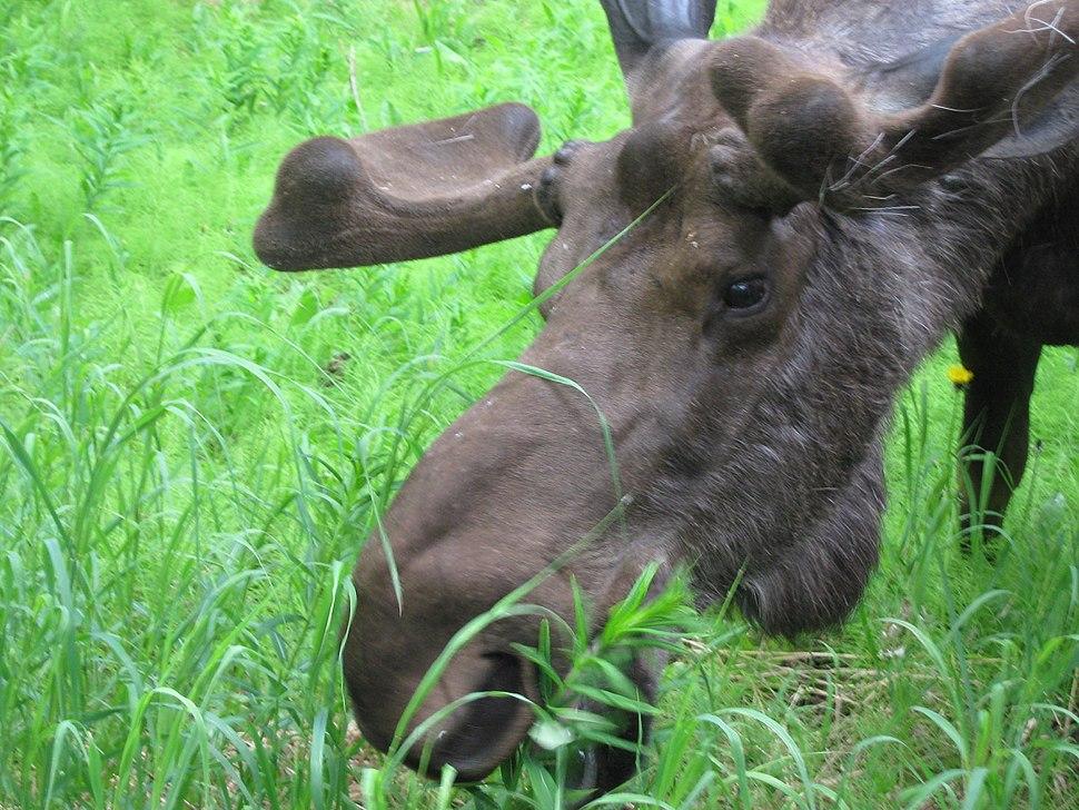 Bull moose close up feeding on fireweed