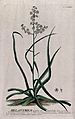 Bunchflower (Melanthium virginicum L.); flowering stem with Wellcome V0043001.jpg