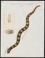 Bungarus annularis - 1700-1880 - Print - Iconographia Zoologica - Special Collections University of Amsterdam - UBA01 IZ11800081.tif