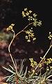 Buplerum dianthifolium01.jpg