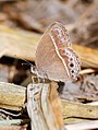 Burmese Bushbrown (26843960918).jpg