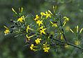 Bush jasmine - Jasminum fruticans 03.jpg