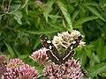 Butterfly547.JPG