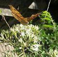 Butterfly on kadipatta flower.jpg