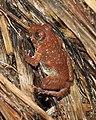 CEPF Burrowing Frog Fejervarya cepfi by Dr. Raju Kasambe DSCN0975 (16).jpg