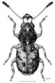 COLE Anthribidae Pleosporius bullatus m.png