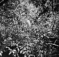 COLLECTIE TROPENMUSEUM Zilverreiger in de vogelbroedplaats TMnr 10006493.jpg
