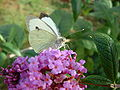 Cabbage white.JPG